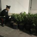 Roma, Trullo, una tenda da campeggio come serra da Cannabis