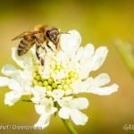 """Approvato bando permanente in UE per tre neonicotinoidi dannosi per le api. Greenpeace: """"ottima notizia"""""""
