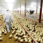 Greenpeace: sempre più allevamenti intensivi foraggiati dai fondi PAC